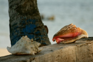Conch shells Kuna Yala