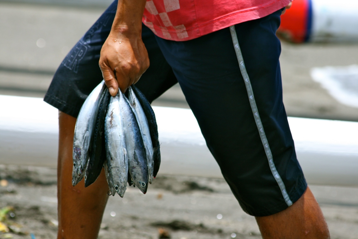Baby mackerel Lombok